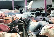 cow-vigilantism-nasur-india-says-indian-origin-tanzanian-lawmaker